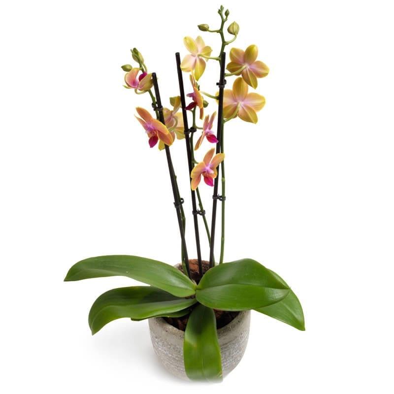fleurige phalaenopsis