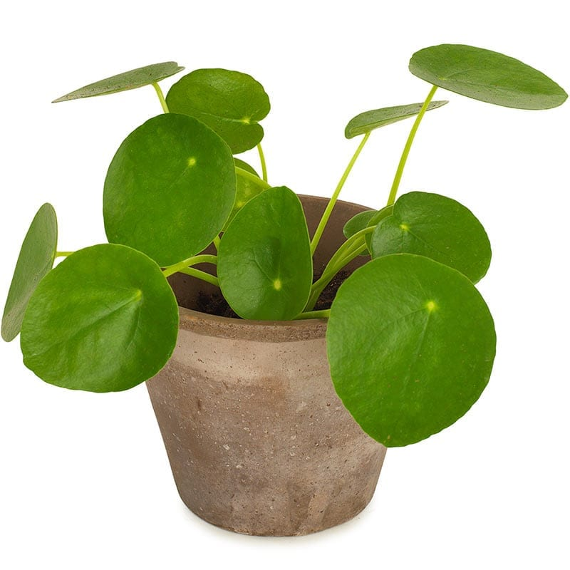 pilea pannekoekenplant